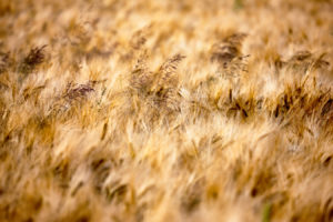 Field of Gold (2014)