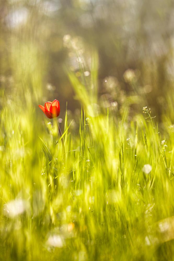 Lonely Tulip (2014)