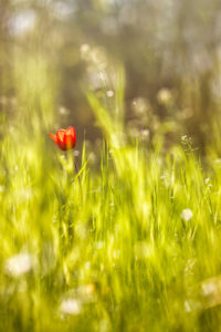Lonely Tulip (2014) thumbnail